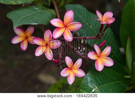 Pink Plumeria Blooming on the branch in the garden