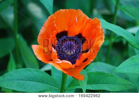 Pretty oriental poppy flower blossom in a garden.