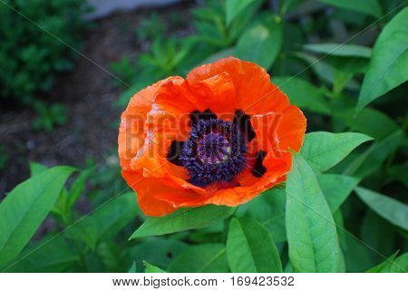 Pretty flowering orange Oriental poppy flower blossom in a garden.