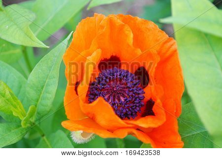 Oriental poppy flower blossom in a garden blooming.