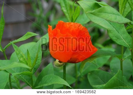 Garden with a blooming orange oriental poppy flower.