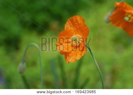 California poppy flower with a stamen exposed.
