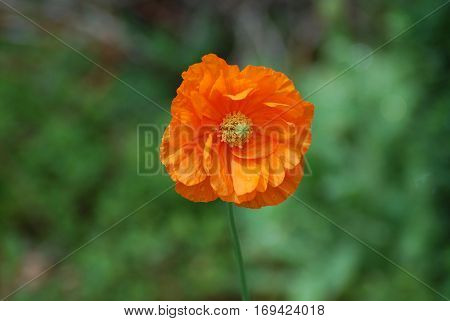 Perfect blooming orange California poppy flower blossom in a garden.