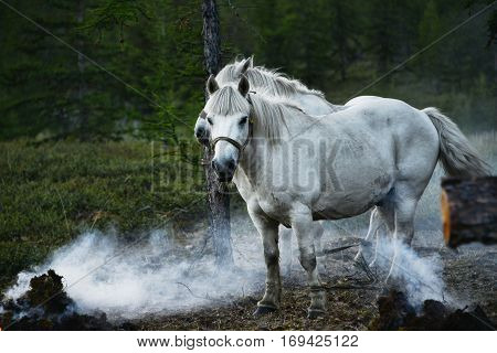 Yakut horse - hardy but the obstinate animals