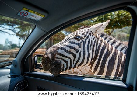 Zebra put his head in car and waiting food from tourist in safari park