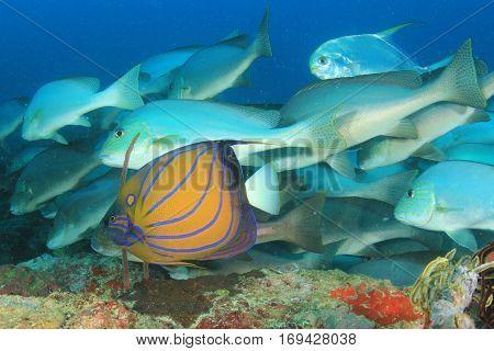 Angelfish tropical reef fish