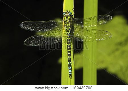 Southern Hawker dragonfly Aeschna cyanea resting on a green leaf with wings extended