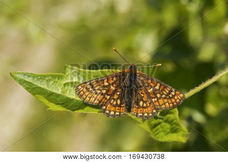 Tiny rare Marsh Fritillary butterfly Euphydryas aurinia resting on a leaf with wings open