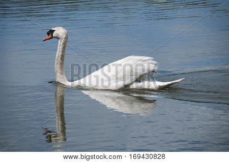 Mute Swan Cygnus olor swimming to the left with water stream behind