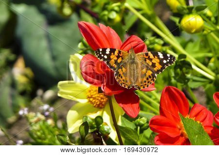 Painted Lady butterfly Vanessa cardui nectaring on red Dahlia flower with wings open