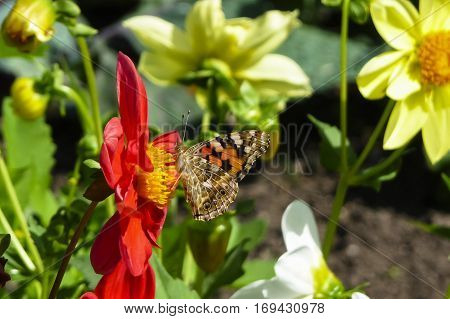 Painted Lady butterfly Vanessa cardui nectaring on red Dahlia flower with underwings showing