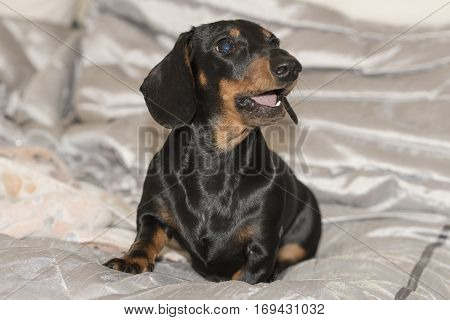 Black and tan smooth-haired Miniature Dachshund puppy sitting on silver blanket looking right and barking