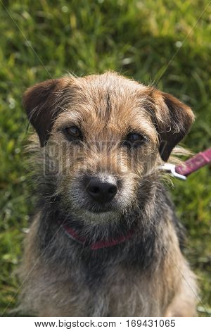 Portrait of small border terrier cross bitch facing camera in pink collar and lead with grass background