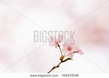 Cherry blossom or cherry flower in full bloom close-up. Thin delicate flower petals and pastel pink background. Shallow depth of field.