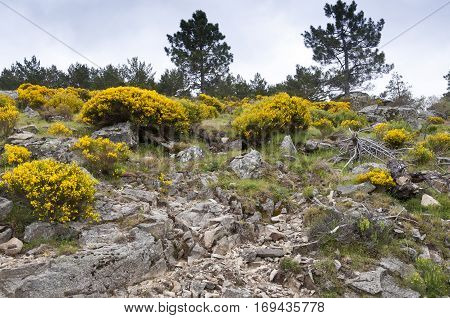 Padded brushwood of Cytisus purgans in Casillas Mountain Pass, Iruelas Valley Natural Park, Avila, Spain