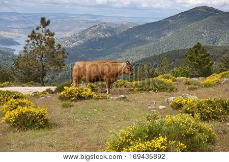 Cow grazing in Casillas Mountain Pass, Iruelas Valley Natural Park, Avila, Spain