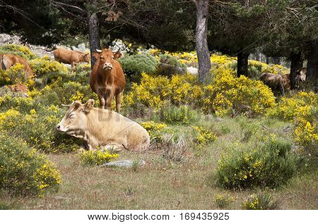 Cows grazing in Casillas Mountain Pass, Iruelas Valley Natural Park, Avila, Spain