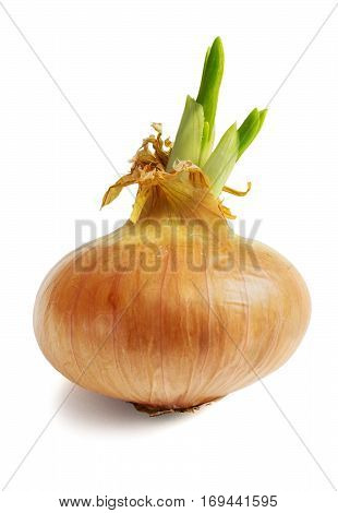 One sprouted large onion on white background