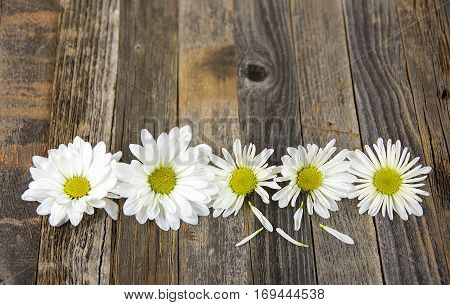 row of white daisies on rustic old wood
