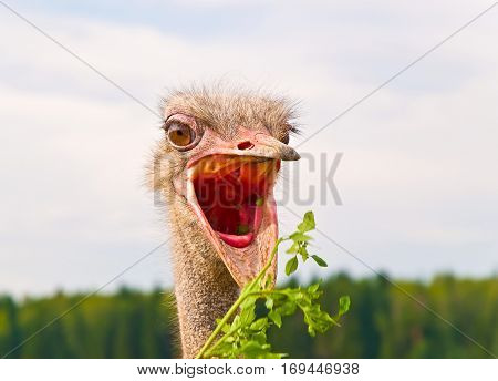 The hungry African ostrich with wide open beak wants the grass