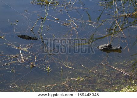 An alligator laying submerged in a marsh