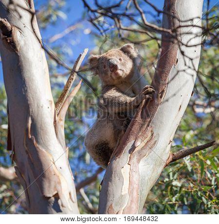 Portrait of Koala bear sitting on eucalyptus tree
