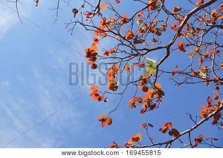 Abscission. A tree dropping old leaves and having new leaves in winter Thailand