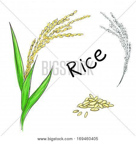 Hand drawn vector illustration of rice plant, grain. sketch. Vector eps 8.