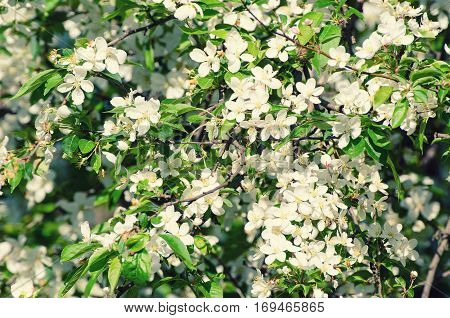Blossoming of plum flowers in spring time with green leaves, macro
