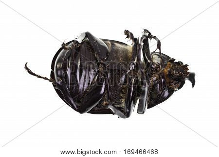 The Male Rhinoceros Beetle also called Xylotrupes Ulysses is an insect that lives on decaying vegetable matter. poster