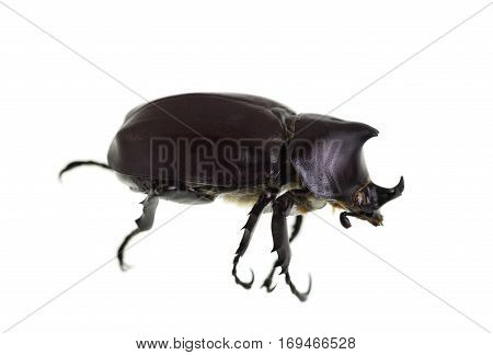 The Male Rhinoceros Beetle also called Xylotrupes Ulysses is an insect that lives on decaying vegetable matter.