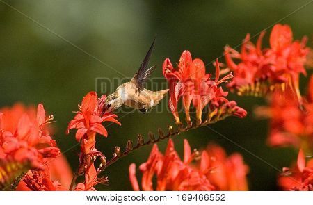 Oregon Humming birds feeding on flowers in late afternoon sun