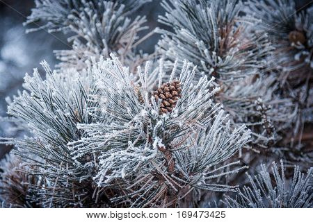 Conifer cone (pine cone) of a frozen pine tree in winter