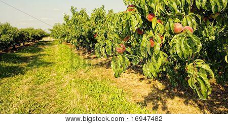 Row of fruit trees.  Ripen peaches in Italy