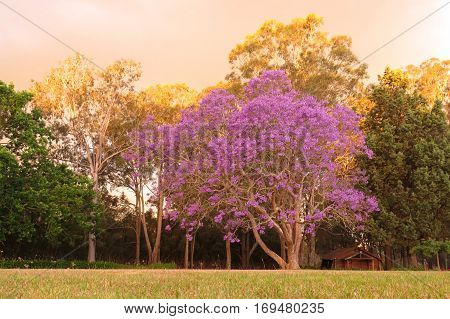 Purple Jacaranda tree in bloom blossom garden plant chapel log