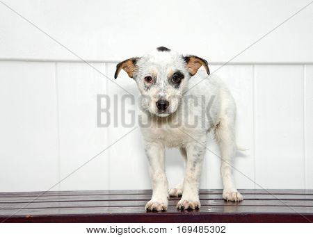 White and black puppy standing on dark wood deck white fence background looking directly at viewer with sad eyes.