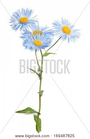 blue small flowers isolated on white background