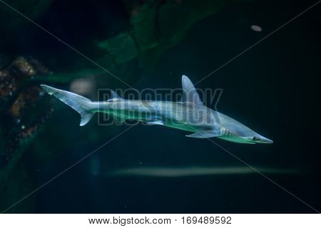 Bonnethead shark (Sphyrna tiburo), also known as the shovelhead shark.