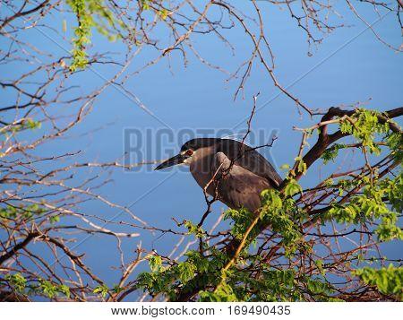 Black-crowned Night Heron taken on Maui Hawaii at the Kealia Pond NWR