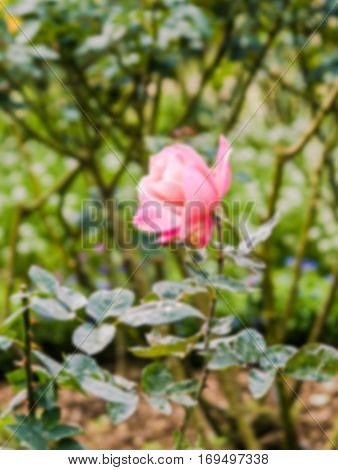 field of pink roses (Rosaceae) in garden