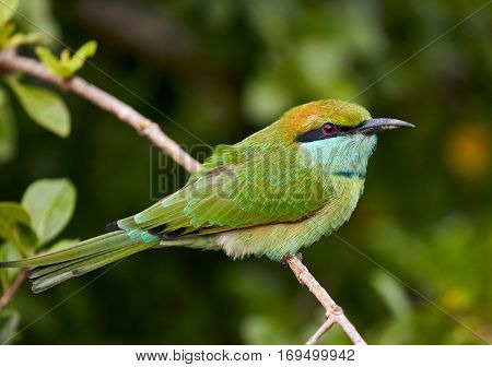 Beautiful green bird in wild nature. Yala National Park. Sri Lanka