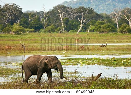 Elephant in wild nature.  Yala national park, Sri Lanka