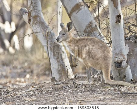 Euro Wallaroo Macropus robustus are between a wallaby and a kangaroo and come in lots of different soft collours
