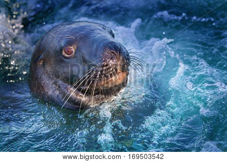 Hookers Sealion is the rarest sealion in the world and is susceptible to the cod fishing industry and their nets it is in decline and of great concern