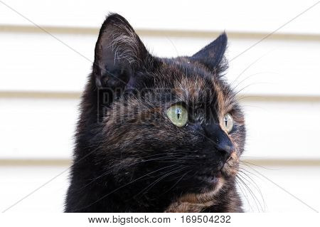 Close-up of a tortoiseshell calico cat face against a cream white background