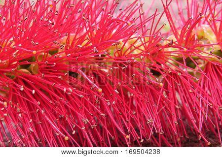 Close-up of Australian red bottlebrush bottle brush flower petals stamen seeds