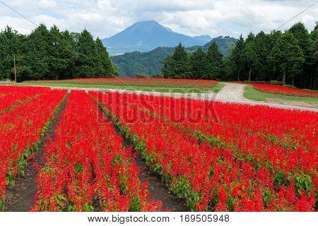 Salvia Flower Garden