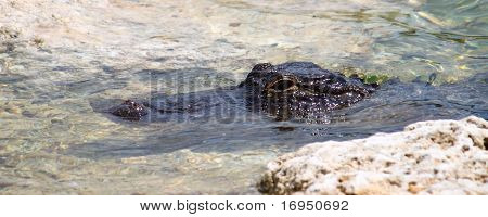 An American alligator rests in a clear pond. poster