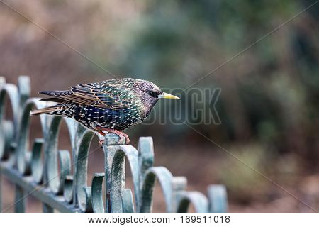 Juvenile male starling perched on a wrought iron fence. Defocussed bokeh background with space for text.