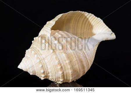 Sea shell of marine snails isolated on black background close up